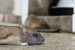 De rat wordt het drogen royalty-vrije stock foto