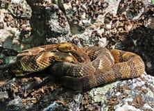 De Ratelslangen van het hout Stock Afbeelding