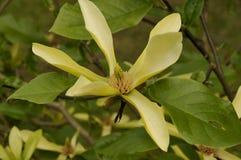 ` de rayon de soleil de ` de magnolia Photographie stock libre de droits
