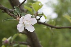 De recente bloei van de de lenteappel Royalty-vrije Stock Fotografie