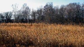 De recente herfst De jacht Weide met droog geel gras op de achtergrond van een naakt zwart bosje royalty-vrije stock foto's