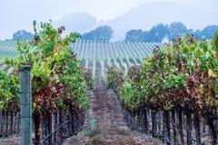De recente wijngaard van de Daling stock foto's