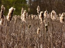 De recente Winter Cattails royalty-vrije stock afbeelding