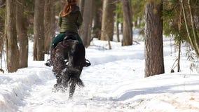 De recente Winter Een vrouw die op een paard in het bos op een sneeuwweg bij zonnig weer lopen stock videobeelden