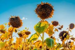 De recente zomerzonnebloemen onder blauwe hemel stock foto