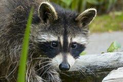 ` De recherche de raton laveur de mère je ` de temps Photos stock