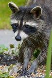 ` De recherche de raton laveur de mère je ` de temps Image stock