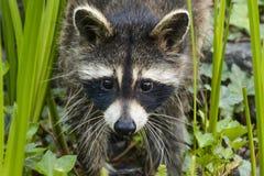 ` De recherche de raton laveur de mère je ` de temps Photo stock