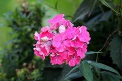 De rechte kruidachtige eeuwigdurende installatie van floxpaniculata met bos van het bloeien en aanvang om licht aan donkere roze  royalty-vrije stock foto