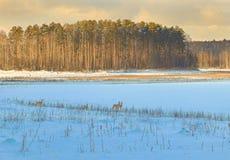 De reeën weiden in de sneeuw Stock Afbeelding