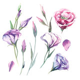 De reeks van de bloem van waterverfeustoma isoleert op witte achtergrond FL Royalty-vrije Stock Foto