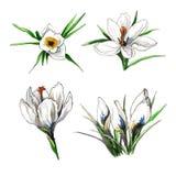 De reeks van de de bloemillustratie van de krokuslente Stock Afbeeldingen