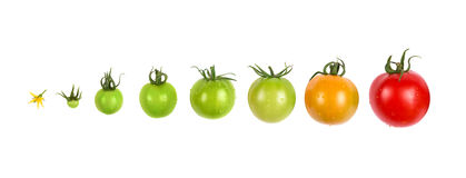 De reeks van de de evolutievooruitgang van de tomatengroei op witte achtergrond wordt geïsoleerd die stock fotografie
