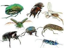 De reeks van de de keverinzameling van het insect Royalty-vrije Stock Afbeeldingen