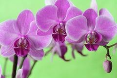 De Reeks van de orchidee royalty-vrije stock afbeelding