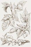 De reeks van heup nam knoppen, bes en takken toe Uitstekende botanische gegraveerde illustratie Vectorhand getrokken natuurlijke  Royalty-vrije Stock Fotografie