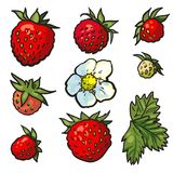 De reeks van de schets wilde aardbei Bloemen met bladeren, groene onrijpe bessen stock illustratie