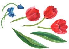 De reeks van de waterverfillustratie van een rode tulp met bladeren en blauwe muscari afzonderlijke die voorwerpen op witte achte vector illustratie