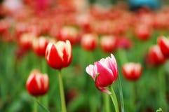 De regard une tulipe en arrière images libres de droits