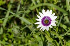 De Regen Daisy Royalty-vrije Stock Afbeelding