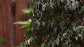 De regen die op donkergroene bladeren van Ficusbenjamina vallen, een sterke wind bewoog de bladeren en regendruppelsdaling stock footage