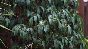 De regen die op donkergroene bladeren van Ficusbenjamina vallen, een zachte wind bewoog de bladeren en de regendruppels vallen in stock footage