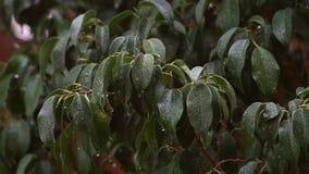 De regen die op donkergroene bladeren van Ficusbenjamina vallen, een zachte wind bewoog de bladeren en de regendruppels vallen in stock video
