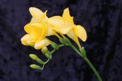 De regen doorweekte Gele Bloem Fresia Stock Foto's