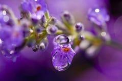 De Regen van de lavendel Stock Foto's