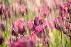 De regen van de tulp Royalty-vrije Stock Afbeeldingen