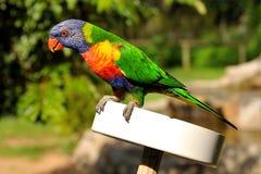 De regenboog lorikeet zit op een het voeden plaat Stock Afbeelding
