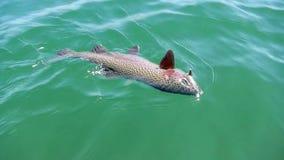 De regenboogforel ving terwijl vlieg vissend in Wyoming stock videobeelden
