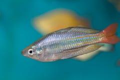 De regenboogvissen van Boesman stock foto