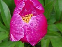 De regendruppel behandelde het roze te openen begin van de pioenknop het is bloemblaadjes Royalty-vrije Stock Afbeelding