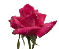 De regendruppels cerise rood toenamen bloemstam op wit Royalty-vrije Stock Foto's