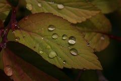 De regendruppels doorbladert Stock Afbeelding