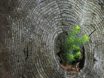 De regeneratie van de pijnboom Stock Afbeeldingen