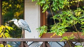 De reiger bevindt zich op het traliewerk van het terras, Kyoto, Japan stock afbeeldingen