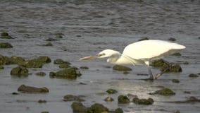 De reiger vangt vissen stock footage