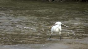 De reiger vangt vissen in Langzame Motie stock footage