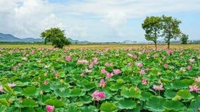 De reis van Vietnam, Mekong Delta, lotusbloemvijver Royalty-vrije Stock Afbeeldingen