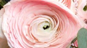 De renoncule de fleur de plan rapproch? couleur rose doucement photos stock