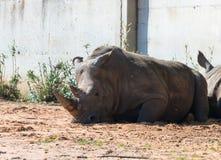 De rest van Rinocerosrhinocerotidae in de zon na het eten in Safaripark Ramat Gan, Israël royalty-vrije stock fotografie