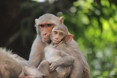De Resusaap Macaque Royalty-vrije Stock Afbeeldingen