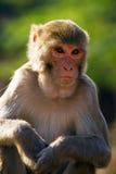 De resusaap macaque aap Stock Afbeeldingen