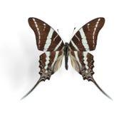 De resusaap van Graphium (Resusaap Swallowtail) Stock Fotografie