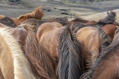 De retour des chevaux islandais photo stock