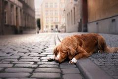 De Retriever van de de eendtol van hondnova scotia in oude stad stock foto's