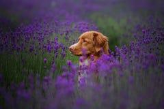 De Retriever van de de eendtol van hondnova scotia in lavendel Huisdier in de zomer op de aard in kleuren royalty-vrije stock foto's