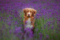 De Retriever van de de eendtol van hondnova scotia in lavendel Huisdier in de zomer op de aard in kleuren stock foto